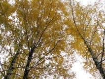 Τρεις σημύδες φθινοπώρου Στοκ Φωτογραφίες