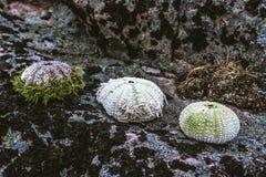 Τρεις σκαντζόχοιροι θάλασσας που σχεδιάζονται σε μια σειρά σε μια πέτρα στοκ φωτογραφία με δικαίωμα ελεύθερης χρήσης