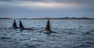 Τρεις φάλαινες δολοφόνων Orcas στο τοπίο Tromso Νορβηγία βουνών Στοκ Εικόνα