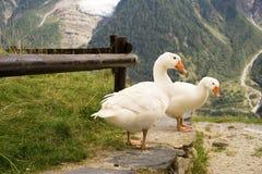 Τρεις χήνες στο Alpes της Γαλλίας στοκ φωτογραφία με δικαίωμα ελεύθερης χρήσης
