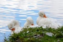 Τρεις χαριτωμένες άσπρες πάπιες που καθαρίζονται Στοκ Εικόνες