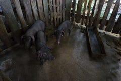 Τρεις χοίροι στο βρώμικο ρύπο Στοκ Εικόνες