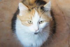 Τρεις-χρωματισμένη γάτα, αγαπημένη της οικογένειας Στοκ Φωτογραφίες