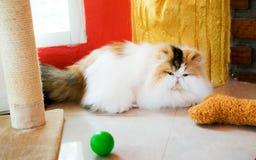Τρεις-χρωματισμένη περσική γάτα στο καθιστικό Στοκ Φωτογραφίες