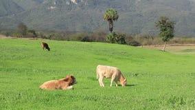 Τρεις όμορφες αγελάδες στους πράσινους τομείς απόθεμα βίντεο