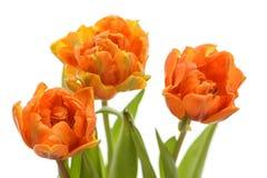 Τρεις όμορφες πορτοκαλιές τουλίπες στο άσπρο υπόβαθρο κλείνουν την πλάγια όψη στοκ εικόνα