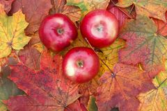 Τρεις ώριμη juicy κόκκινη Apple που βρίσκεται σε έναν ξύλινο πίνακα που περιβάλλεται κοντά Στοκ φωτογραφία με δικαίωμα ελεύθερης χρήσης
