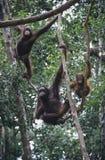 Τρεις Orangutans που κρεμούν στα δέντρα Στοκ φωτογραφίες με δικαίωμα ελεύθερης χρήσης