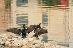 Τρελλό Carmorants με τα φτερά τους επάνω και παίζοντας στοκ εικόνες