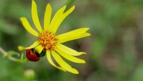 Τρεξίματα λαμπριτσών στα κίτρινα λουλούδια στον άγριο τομέα απόθεμα βίντεο