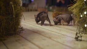 Τρεξίματα μικρά ζωηρά χοίρων στο πάτωμα Διακοσμητικός μίνι piggy χοιριδίων απόθεμα βίντεο