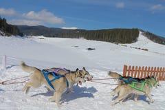 Τρεξίματα ομάδων σκυλιών Στοκ Εικόνα