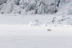 Τρεξίματα πολικών αρκουδών κατά μήκος ενός επιπλέοντος πάγου πάγου κατά μήκος ενός παγετώνα, Spitsbergen Στοκ Φωτογραφία
