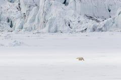 Τρεξίματα πολικών αρκουδών κατά μήκος ενός επιπλέοντος πάγου πάγου κατά μήκος ενός παγετώνα, Spitsbergen Στοκ Εικόνες