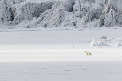 Τρεξίματα πολικών αρκουδών κατά μήκος ενός επιπλέοντος πάγου πάγου κατά μήκος ενός παγετώνα, Svalbard, οβελός Στοκ Εικόνες
