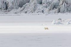 Τρεξίματα πολικών αρκουδών κατά μήκος ενός επιπλέοντος πάγου πάγου κατά μήκος ενός παγετώνα, Svalbard, οβελός Στοκ φωτογραφίες με δικαίωμα ελεύθερης χρήσης