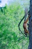 Τρεξίματα σκιούρων σε ένα πεύκο-δέντρο Στοκ εικόνα με δικαίωμα ελεύθερης χρήσης