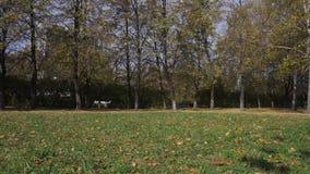 Τρεξίματα τα άσπρα ελβετικά ποιμένων σκυλιών μετά από το δίσκο frisbee και το φέρνουν στον ιδιοκτήτη του απόθεμα βίντεο