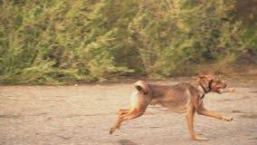 Τρεξίματα Pooch πολύ γρήγορα απόθεμα βίντεο