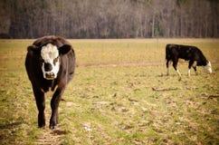 Τρελή αγελάδα Στοκ Φωτογραφίες