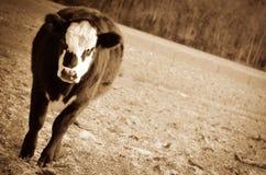 Τρελή αγελάδα Στοκ Εικόνες