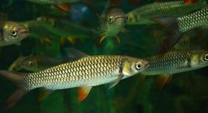 Τρελλός κυπρίνος, ψάρια σουλτάνων Στοκ Εικόνες