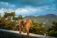 τρελλός πίθηκος που περπατά στον τοίχο Στοκ Φωτογραφία