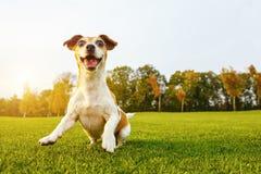 Τρελλός χορός σκυλιών playfull δροσερός που πηδά στη χλόη Στοκ εικόνες με δικαίωμα ελεύθερης χρήσης