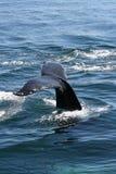 τρηματώδης σκώληκας humpback Στοκ Εικόνες
