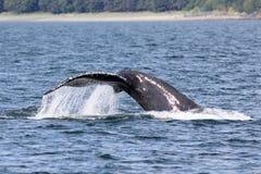 Τρηματώδης σκώληκας φαλαινών Humpback Στοκ Εικόνες