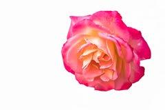 Τριαντάφυλλα για τις διακοπές και το δώρο Στοκ Φωτογραφίες