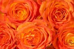 τριαντάφυλλα δεσμών Στοκ εικόνα με δικαίωμα ελεύθερης χρήσης