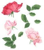 Τριαντάφυλλα, ζωγραφική watercolor στο άσπρο υπόβαθρο απεικόνιση αποθεμάτων