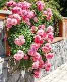 Τριαντάφυλλα θάμνων στοκ εικόνα