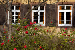 τριαντάφυλλα θάμνων Στοκ φωτογραφία με δικαίωμα ελεύθερης χρήσης