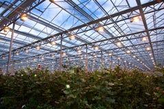 τριαντάφυλλα θερμοκηπίω& Στοκ εικόνες με δικαίωμα ελεύθερης χρήσης