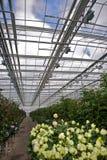 τριαντάφυλλα θερμοκηπίω& Στοκ φωτογραφία με δικαίωμα ελεύθερης χρήσης