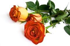 τριαντάφυλλα κίτρινα Στοκ φωτογραφίες με δικαίωμα ελεύθερης χρήσης