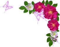 Τριαντάφυλλα και ιώδης σύνθεση πεταλούδων στο άσπρο υπόβαθρο Στοκ Εικόνες