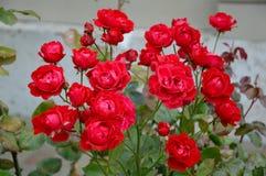 τριαντάφυλλα μικρά στοκ εικόνα με δικαίωμα ελεύθερης χρήσης