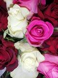 Τριαντάφυλλα πολλών χρωμάτων στοκ εικόνες με δικαίωμα ελεύθερης χρήσης