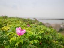 Τριαντάφυλλα σκυλιών στο άνθος Θερμή ηλιόλουστη θερινή ημέρα Δύσκολες ακτές στη θάλασσα Στοκ φωτογραφία με δικαίωμα ελεύθερης χρήσης
