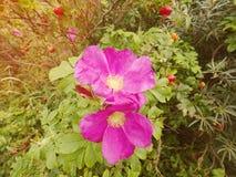 Τριαντάφυλλα σκυλιών στο άνθος Θερμή ηλιόλουστη θερινή ημέρα Δύσκολες ακτές στη θάλασσα Στοκ φωτογραφίες με δικαίωμα ελεύθερης χρήσης
