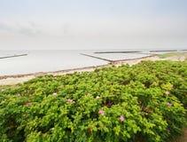 Τριαντάφυλλα σκυλιών στο άνθος Θερμή ηλιόλουστη θερινή ημέρα Δύσκολες ακτές στη θάλασσα Στοκ Φωτογραφίες
