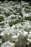 τριαντάφυλλα σπορείων Στοκ Εικόνα