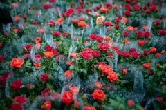 τριαντάφυλλα στις συσκευασίες ανθοπωλείων στοκ φωτογραφίες με δικαίωμα ελεύθερης χρήσης
