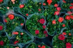 τριαντάφυλλα στις συσκευασίες ανθοπωλείων στοκ εικόνες