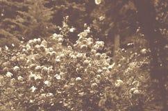 Τριαντάφυλλα στον τόνο σεπιών στοκ εικόνα