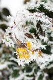 Τριαντάφυλλα στο χιόνι Λουλούδια το χειμώνα στοκ εικόνα με δικαίωμα ελεύθερης χρήσης