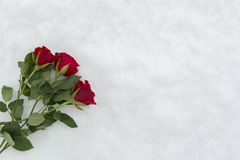 Τριαντάφυλλα στο χιόνι Στοκ Εικόνα